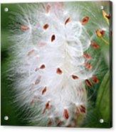 Milkweed Explosion Acrylic Print
