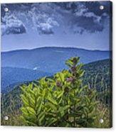 Milkweed Plants Along The Blue Ridge Parkway Acrylic Print