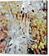 Milkweed Pod On Hart-montague Trail In Northern Michigan Acrylic Print