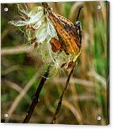 Milkweed Pod Acrylic Print