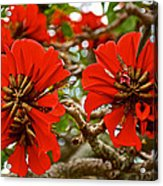 Milkwood Tree Blossoms In Donkin Reserve In Port Elizabeth-south Africa Acrylic Print