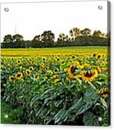 Millions Of Sunflowers Acrylic Print by Danielle  Parent