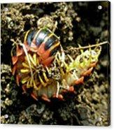 Millipede Polydesmida - Sigmoria Aberrans Acrylic Print