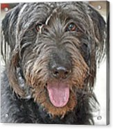 Milo Acrylic Print by Lisa Phillips