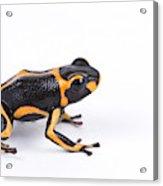 Mimic Poison Dart Frog Acrylic Print