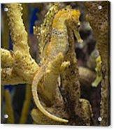 Mimic Seahorse Acrylic Print