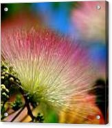 Mimosa 2013 Acrylic Print