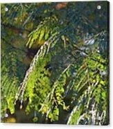 Mimosa At Sunset Acrylic Print