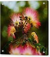 Mimosa Blooms Acrylic Print