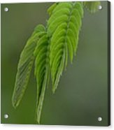 Mimosa Fronds In Spring Acrylic Print