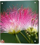 Mimosa Acrylic Print