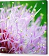 Mimosa Pudica Flower Acrylic Print