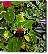 Mindo Butterfly At Rest Acrylic Print by Al Bourassa