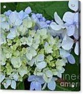 Mini Blue Hydrangea Acrylic Print