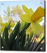 Mini Daffodils Acrylic Print