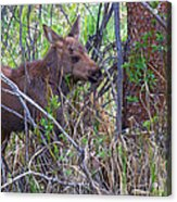 Mini Moose Acrylic Print