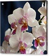 Mini Orchids 3 Acrylic Print