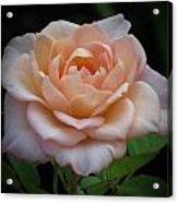 Mini Rose Acrylic Print