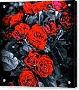 Mini Roses On Walk Acrylic Print