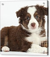 Miniature American Shepherd Puppies Acrylic Print
