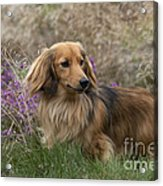 Miniature Long-haired Dachshund Acrylic Print
