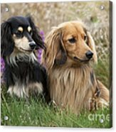 Miniature Long-haired Dachshunds Acrylic Print