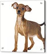 Miniature Pinscher Puppy Acrylic Print