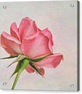 Miniature Rose II Acrylic Print