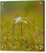 Miniature Tree Acrylic Print by Sarah Crites