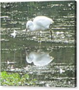 Mirror Image Of The Snowy Egret Acrylic Print