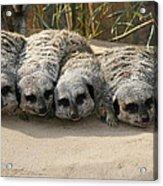 Mischievous Meerkats Acrylic Print
