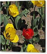 Misplaced Tulip   #0934 Acrylic Print