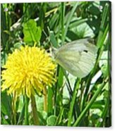 Miss Busy Butterfly Acrylic Print