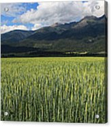 Mission Valley Wheat Acrylic Print