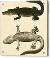 Mississippi Alligator Acrylic Print