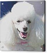 Missy White Poodle Acrylic Print