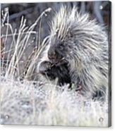 Mister Porcupine - Denali Alaska Acrylic Print