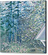 Misty Morning With Apple Blossoms And Redwoods Acrylic Print