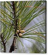 Misty Pines In Spring 2013 Acrylic Print