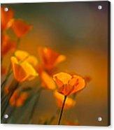 Misty Poppies Acrylic Print