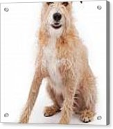 Mixed Breed Large Scruffy Dog Acrylic Print