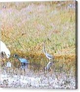 Mixed Shore Birds Acrylic Print