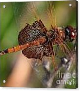 Mocha And Cream Dragonfly Profile Acrylic Print