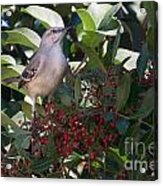 Mocking Bird And Berries Acrylic Print