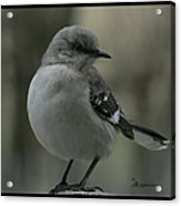Mocking Bird Cuteness - Featured In Wildlife Group Acrylic Print