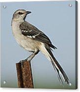 Mocking Bird On A Metal Post Acrylic Print