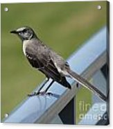 Mockingbird Perched Acrylic Print