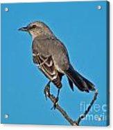 Mockingbird Acrylic Print