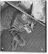 Model Kitten Acrylic Print