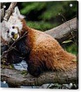 Mohu Eats Bamboo Acrylic Print